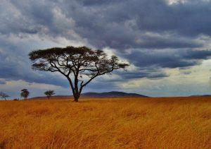 Acacia de Tanzanie